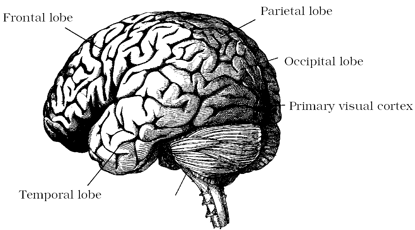 Foundations of vision chapter 6 the cortical representation brain ccuart Choice Image